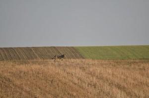 Wolf-Sichtung im Weinviertel (Foto: Markus Furch, via @GHintringer)