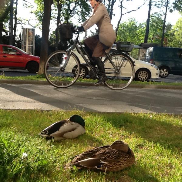 Na geht doch! Radler, Autofahrer und schlafende Enten in friedlicher Ko-Existenz heute morgen am Schubertring #wien