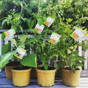 Naschpflanzen im verrottbaren Topf: Paradeiser, Chili, Paprika und Melanzani.
