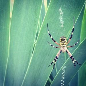#wespenspinne #spinne #spider #latergram #steiermark #graz