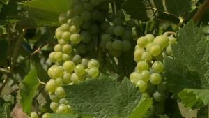 Ist der Wiener #Wein von der Hitze bedroht? #Wien #Weinlese #Bisamberg #W24