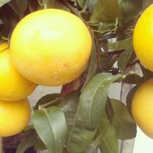 pompelmo-bäumchen am kutschkermarkt #zitrus #citrus #grapefruit #kutschkermarkt #1180 #währing #citruslove