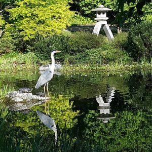 〰🌟〰 #graureiher #setagayapark #greyheron #japanesegarden #vienna #wien #döbling #igersvienna #igersaustria #igers🇦🇹 #ig_wien #ig_vienna #naturelovers #at_nature #s6edge #smartphonepics...