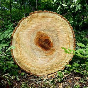 Querschnitt durch einen Baumstamm. 🌳🌲🌳 ------ Durch die Photosynthese kann in einem Kubikmeter Holz etwa eine Tonne...