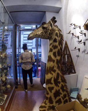 #giraffe Wissenschaftliches Kabinett Simon Weber-Unger