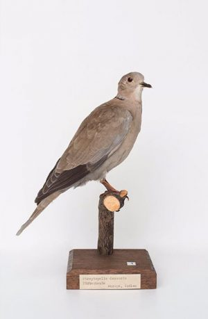 1. #EurasianCollaredDove / #Türkentaube / #Streptopeliadecaocto The #collareddove is not #migratory, but is strongly #dispersive. Over the...