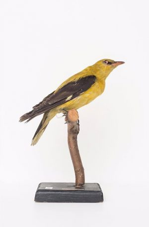 #CuratedbyNature @bogomirdoringer #EurasianGoldenOriole / #Pirol / #Oriolus oriolus The Eurasian golden oriole breeds throughout #Europe and parts...