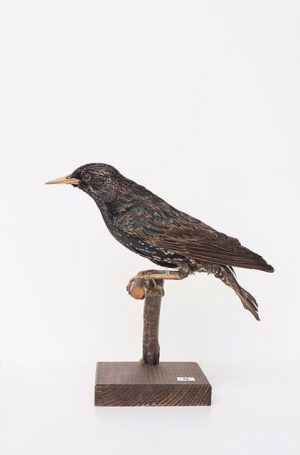 #CuratedbyNature #CommonStarling / #StarSturnusvulgaris The #EuropeanStarling is a bird of lowlands, found mainly on non-mountainous terrain. Dispersed...