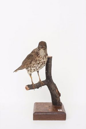 #CuratedbyNature #SongThrush / #Singdrossel #Turdusphilomelos The song thrush is widespread throughout #Europe reaching east to #Siberia Populations...