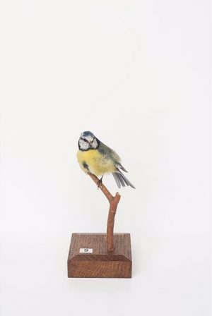 #CuratedbyNature #EurasianBlueTit / #Blaumeise #Cyanistescaeruleus Eurasian blue tits, usually resident and non-#migratorybirds, are widespread and a common...