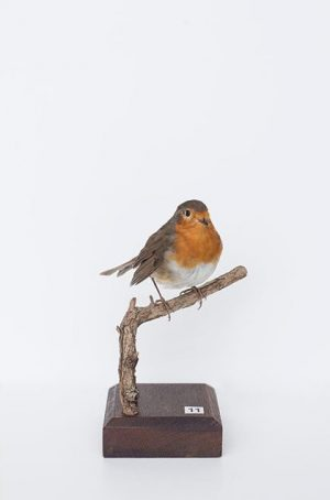 #CuratedbyNature #EuropeanRobin / #Rotkehlchen #Erithacusrubecula Widely distributed throughout much of #Europe, reaching as far east as central...