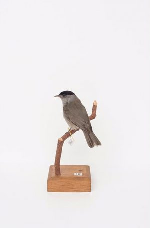 #CuratedbyNature #EurasianBlackcap / M.nchsgrasmücke #Sylviaatricapilla The blackcap has a widespread distribution, breeding across #Europe, #Asia and North...