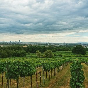 Wien und Wein #vinyard #wine #vienna #austria #bisamberg #nature #landscape #city #view #summer #travel #travelwriter #travelphotography #travelgram...