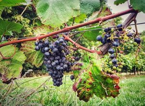 #dailywalk #vienna #austria #nature #naturelovers #grapes #kahlenberg #cobenzl #wien #österreich #natur #landschaft #weintrauben #döbling #igerswien #igersvienna #igersaustria...