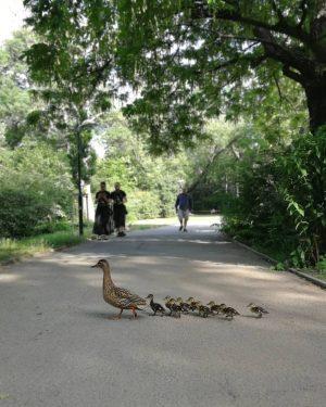 Sonntagsspaziergang Captured during a #pokewalk with @famiglia_vienna #wienamsonntag #sundayinthepark #sundaywalk #sonntagsspaziergang #entenfamilie #duckfamily #crossing #schweizergarten #igersvienna #wienmalanders...
