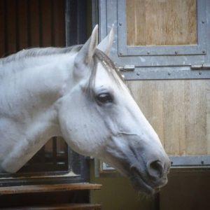 Ein Lipizzaner der Spanischen Hofreitschule in Wien #wien #vienna #österreich #austria #spanischehofreitschule #lipizzaner #pferd #horse #hofreitschule #tradition...