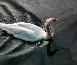 Swan in Donau - - - - - #swanlake #doanu #altedonau #wien #austria ...