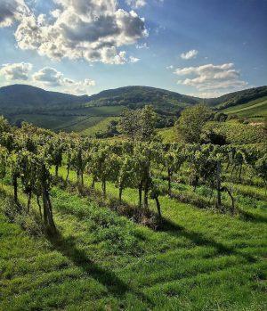 Wiens malerische Weinberge lassen sich dieses Wochenende beim Weinwandertag erkunden. Auf drei Routen mit einer Wegstrecke von...