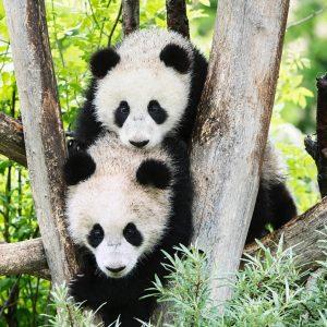 Zwar keine Kung Fu Pandas, dafür aber umso niedlicher sind die Panda Zwillinge Fu Feng und Fu...