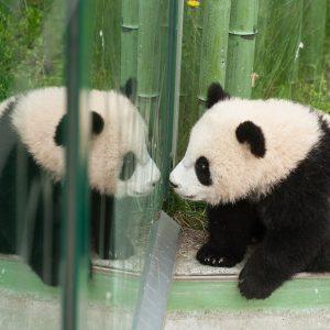 Er war so süß: der kleine Fu Long! ❤️ Persönliche Geschichten rund um die Schönbrunner Pandas und...