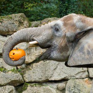 In unseren Herbst-Workshops können Kinder für die #elefanten oder die Affen #kürbisse zubereiten und ihnen später beim...