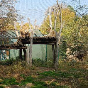 #löwe #zooschönbrunn