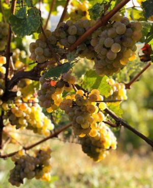 """Wie Galileo Galilei schon sagte: """"Wine is sunlight, held together by water."""" 😍☀️ #weinundco #autumn #wein #wine #weingarten #winelover #quote #vino #indiansummer #grapes #winery #austria #austrianwine Lower Austria"""