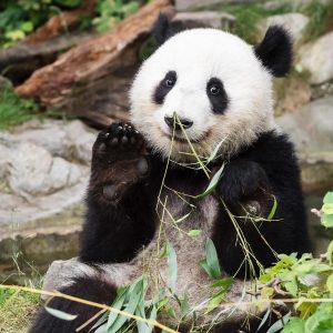 Bis morgen gibt es noch die Möglichkeit, sich von den #pandatwins im Tiergarten zu verabschieden! Am Sonntag...