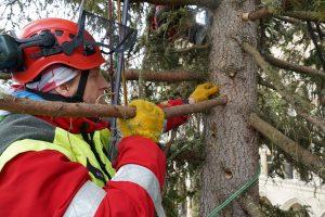Die Baumpfleger der MA 42 – Wiener Stadtgärten sorgen wie jedes Jahr dafür, dass der #Weihnachtsbaum am...