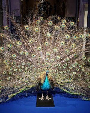 MAK - Museum für angewandte Kunst Wien . Auch der wunderbare Pfau gehört zur Ausstellung Beauty. ....