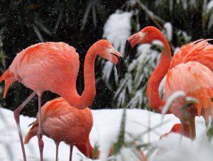 Rote Farbtupfer im Schnee! ❄️ Rote Flamingos sind in Mittelamerika heimisch und leben in großen, dichten Kolonien...