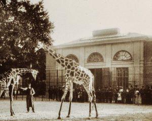 Einen schönen Valentinstag! Giraffenpark im Jahr 1901. Heute gibt es ein Valentinstags Special im Tiergarten Schönbrunn. 1+1...