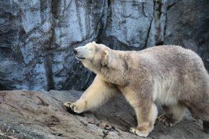Probiers mal mit Gemütlichkeit...lalala #eisbär #polarbear #dschungelbuch #djunglebook #bear #Bär 🐻 #viennazoo #zoo #schoenbrunnzoo🐘