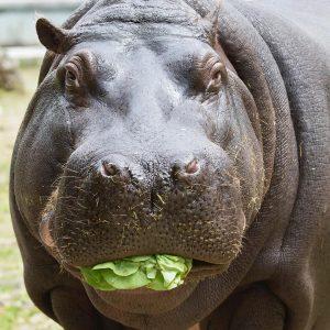 ✨ Happy Hippo Day ✨ Wir lieben unsere Flussperde! Hände hoch - wer noch? 💕 #funfactfriday Die...