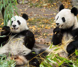 Wir können nicht oft genug DANKE sagen! ❤️ Gold für die Panda-Zwillinge Fu Feng und Fu Ban...