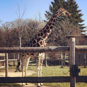 Es sind einfach die besten Tiere! #giraffe #enjoysthesun #sunny #windy #stormyweather #vienna #almostspring