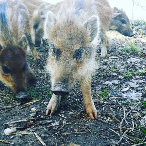 Baby Wildschwein 😍😍😍 einfach so süß!!! #lobau #wildschwein #pig #baby #schwein #natur #wien #niedlich