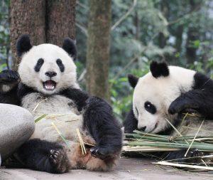 Heute ist Tag des Pandas! 🐼❤️ Die Zwillinge Fu Feng und Fu Ban ...