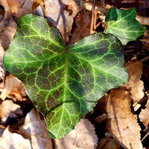 #veinsoflife #poison #ivy #heart #hedera #efeu #donauinsel #lobau #donauau #neuedonau #insta #gay #nature #plantlover #naturegay #instagay #gaystagram...