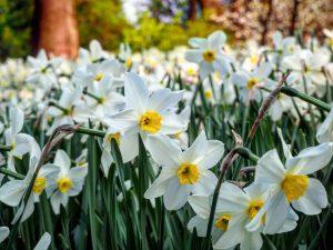 Rosen, Tulpen und Narzissen - im Botanischen Garten der Uni Wien am Rennweg ist der Frühling ausgebrochen......