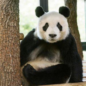 Unsere Freude ist groß 🤗: Das sehnlich erwartete Panda-Männchen Yuan Yuan ist gestern ...