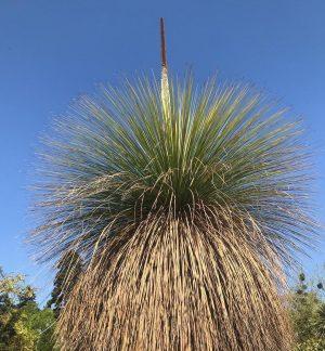 Der australische Grasbaum ist 150 Jahre alt und blüht heuer zum ersten Mal!#natureisawonder