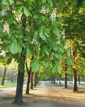 VIENNA/ Im Prater blühen die Bäume 👍 ___________________ #goodmorningvienna #viennanow #praterhauptallee #prater #wienbistduschön #wienistanders #wienmalanders #wonderlustvienna #streetwalker...