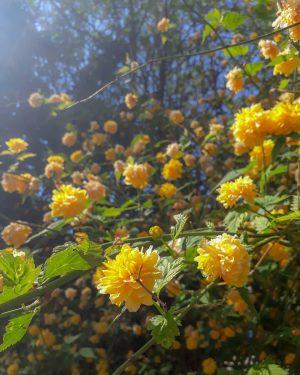 💛 • • • #spring #springishere #thingsthatmakemehappy #flowers #flowerstagram #blooming #blossoming #yellow #colorful #nature #wien #vienna #botanischergarten...