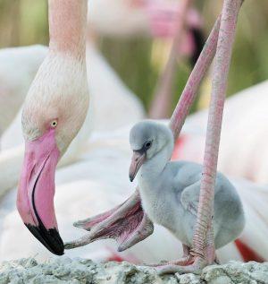 So flauschig! 🥰 Wir freuen uns über zahlreichen Nachwuchs bei den Rosa Flamingos! ...