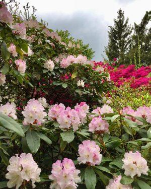 🌦#walkinthepark 🌿☔️🌸 #rhododendron #blütenpracht #flowersofinstagram #urbangardening #strollingaround #schlossbelvedere #rainydays #botanischergartenwien #springinvienna #aprilshowers #frühlinginwien #wien #wienliebe #wienstagram #meinwien...