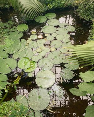 Can you spot Victoria crusiana babies? . . . #botanicalgarden #garten #gardens #gartenliebe #gardensofinstagram #gardendesign #garden_styles #gardeninspiration...