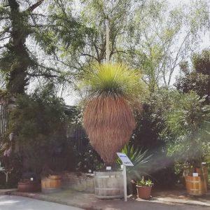 Der blühende Grasbaum aus dem Botanischen Garten ist bestimmt! Er heißt Grauer Grasbaum und kommt aus Australien!...