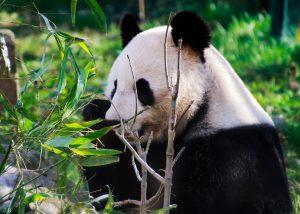 Lieblingsbeschäftigung? 🤔 . . . #zoo #tiergarten #schönbrunn #zoovienna #großerpanda #giantpanda #pandas #pandaliebe ...