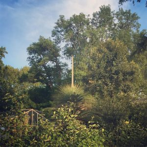 Xanthorrhoea glauca subsp. glauca blüht #botanischergarten #grasbaum #blühendergrasbaum #blooming #150years #xanthorrhoeaglauca #vienna #onceinalifetime